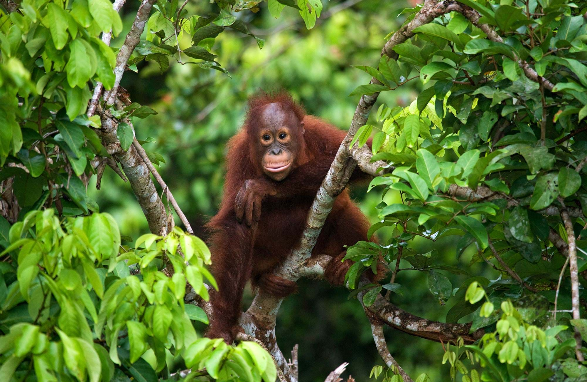 borneo-baby-orangutan-in-the-wild-the-island-of-kalimantan-cover