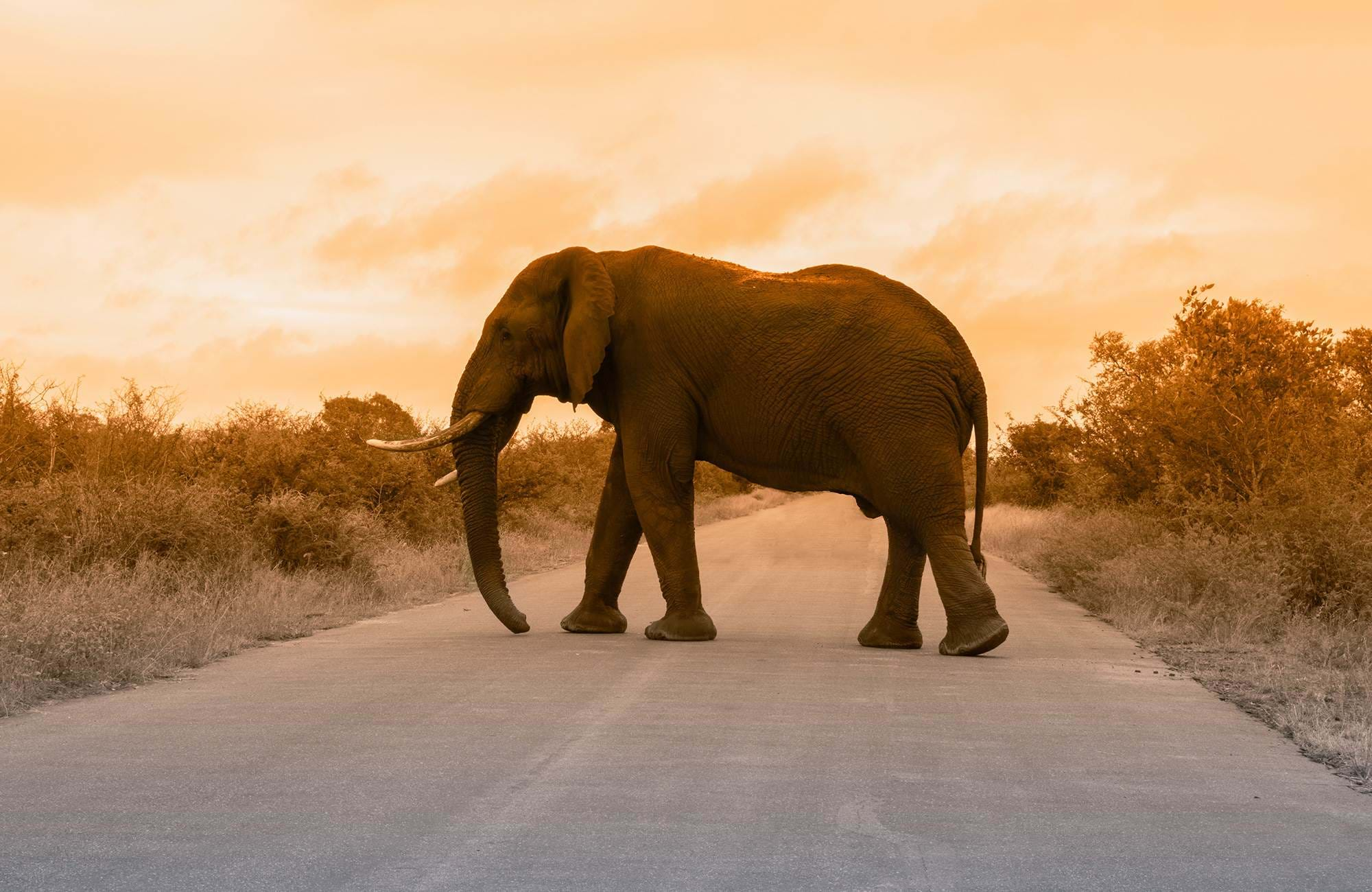 kruger-national-park-elephant-crossing-road-cover