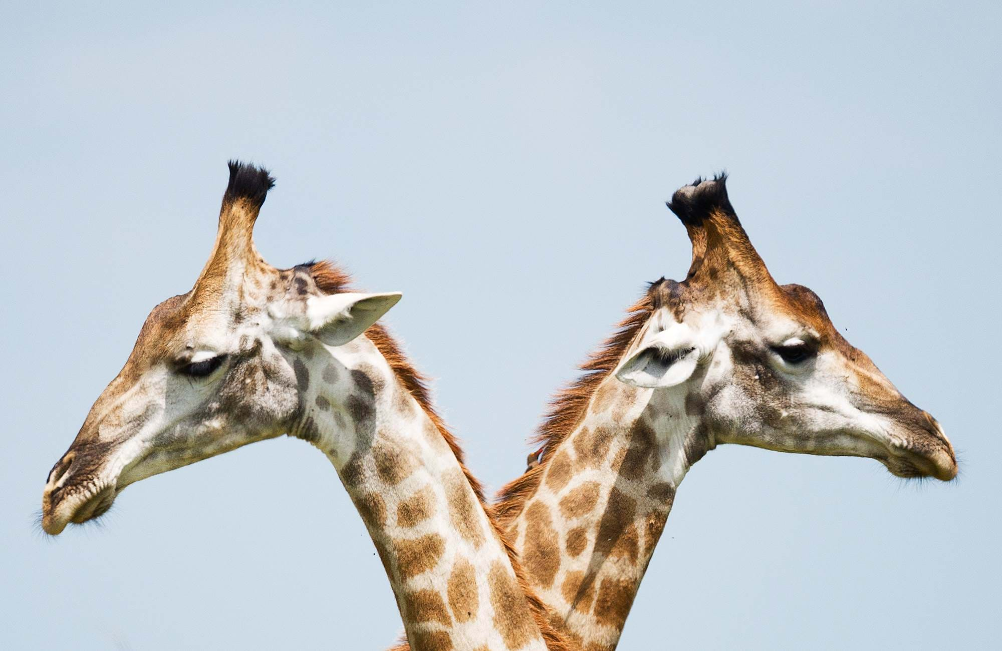 kruger-national-park-two-giraffes-cover