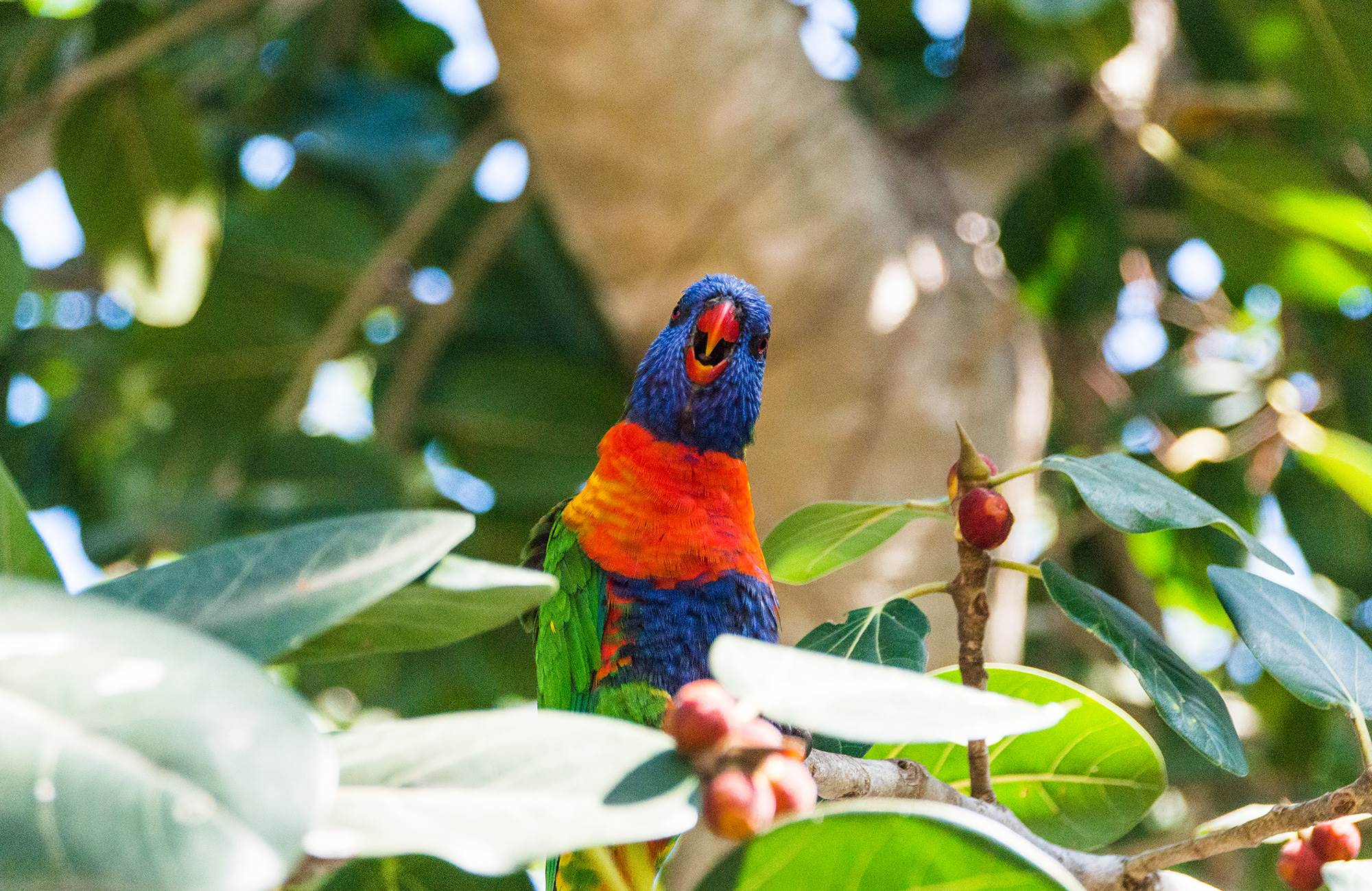 australia-queensland-magnetic-island-colorful-rainbow-lorikeet-cover