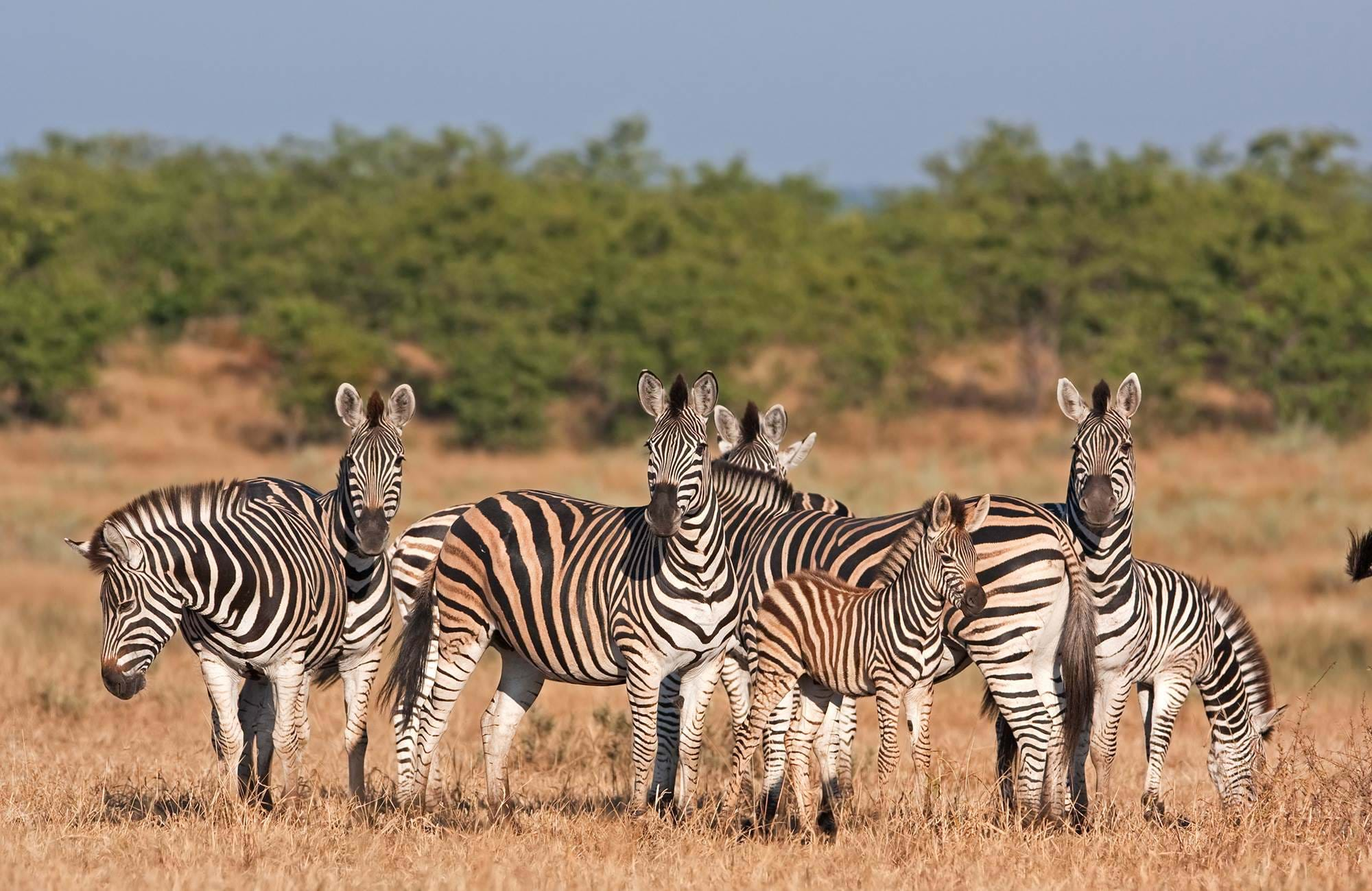 kruger-national-park-zebras-cover