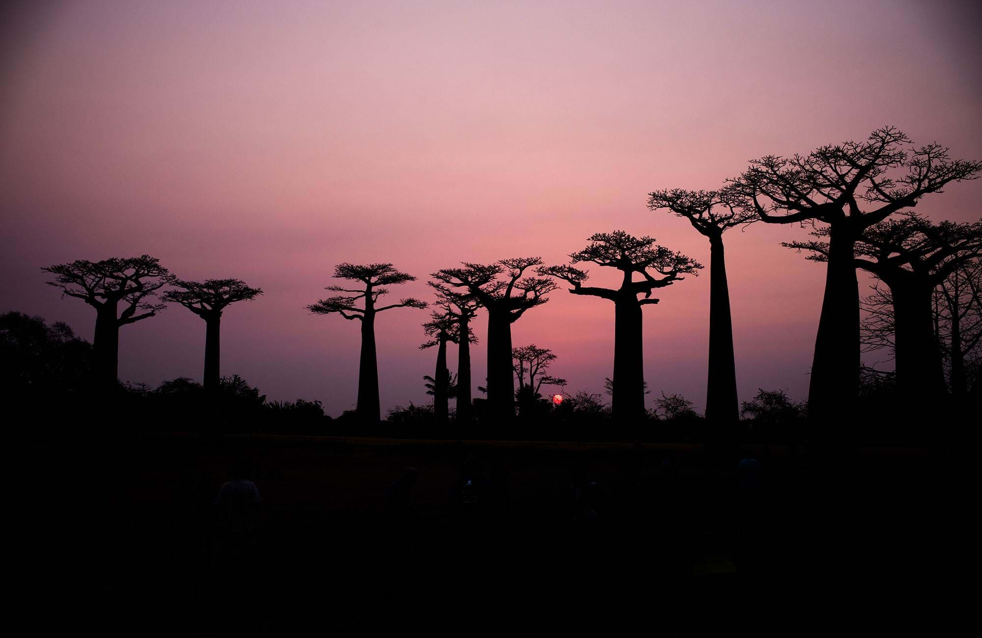 madagascar-baobab-trees-at-sunset