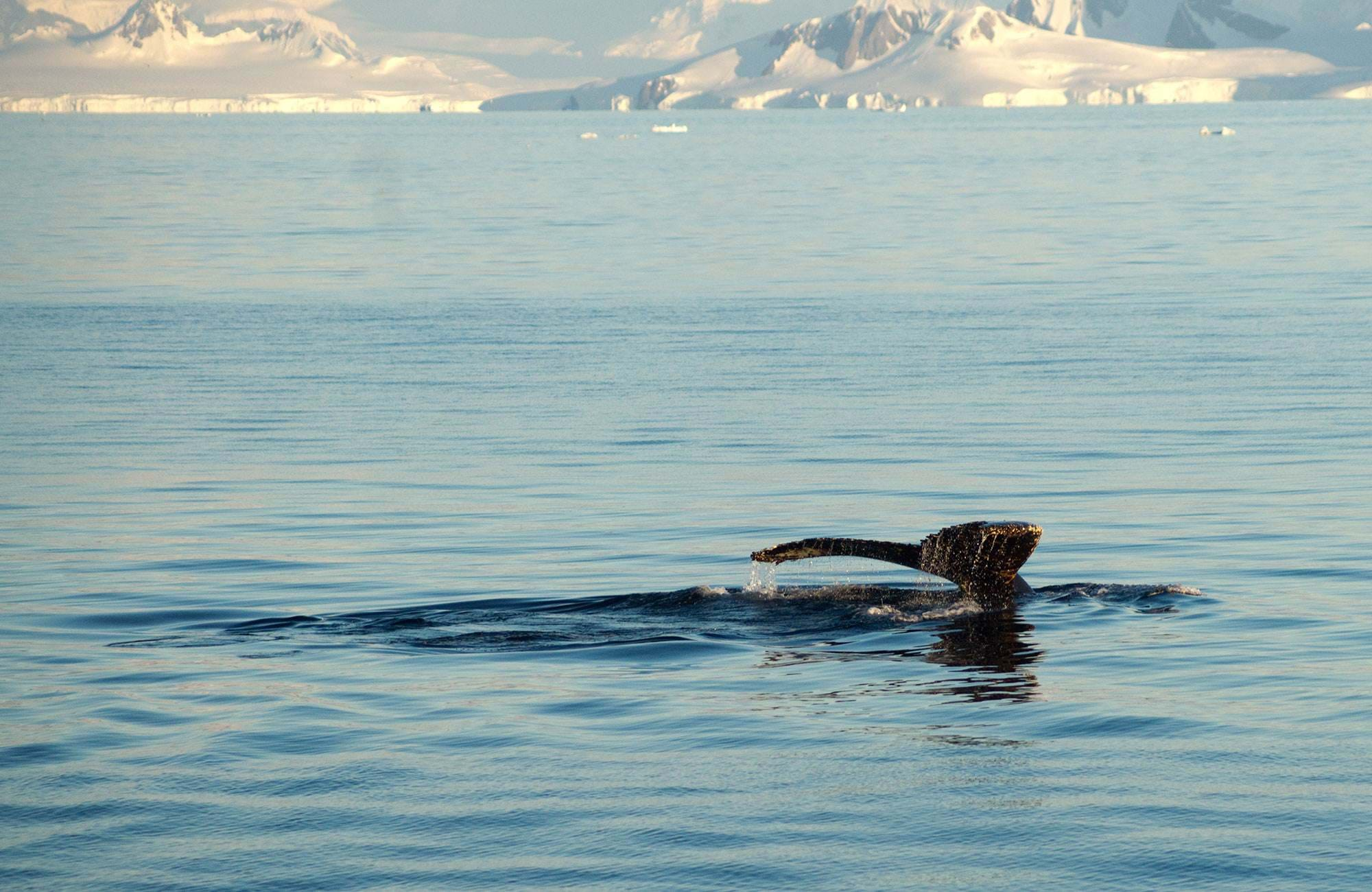 antactica-whale-diving-in-ocean