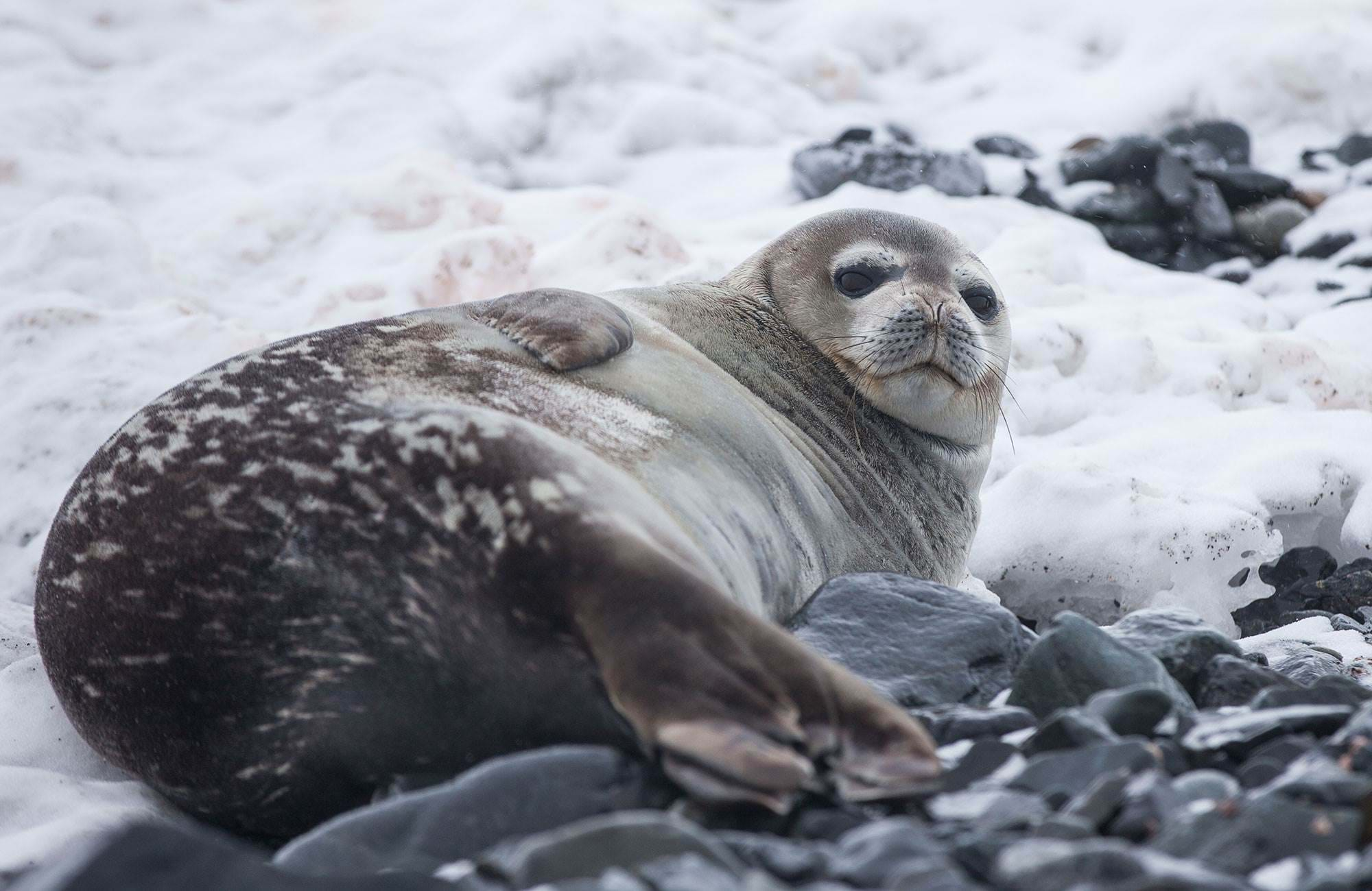 antarctica-seal-chilling