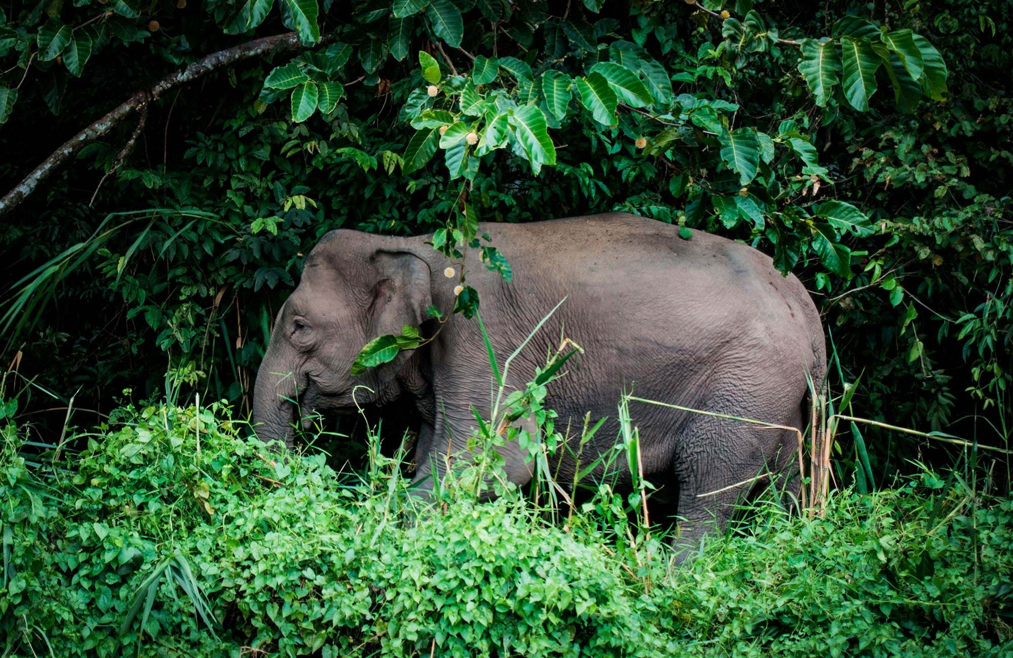 borneo-indonesia-elephant-in-jungle