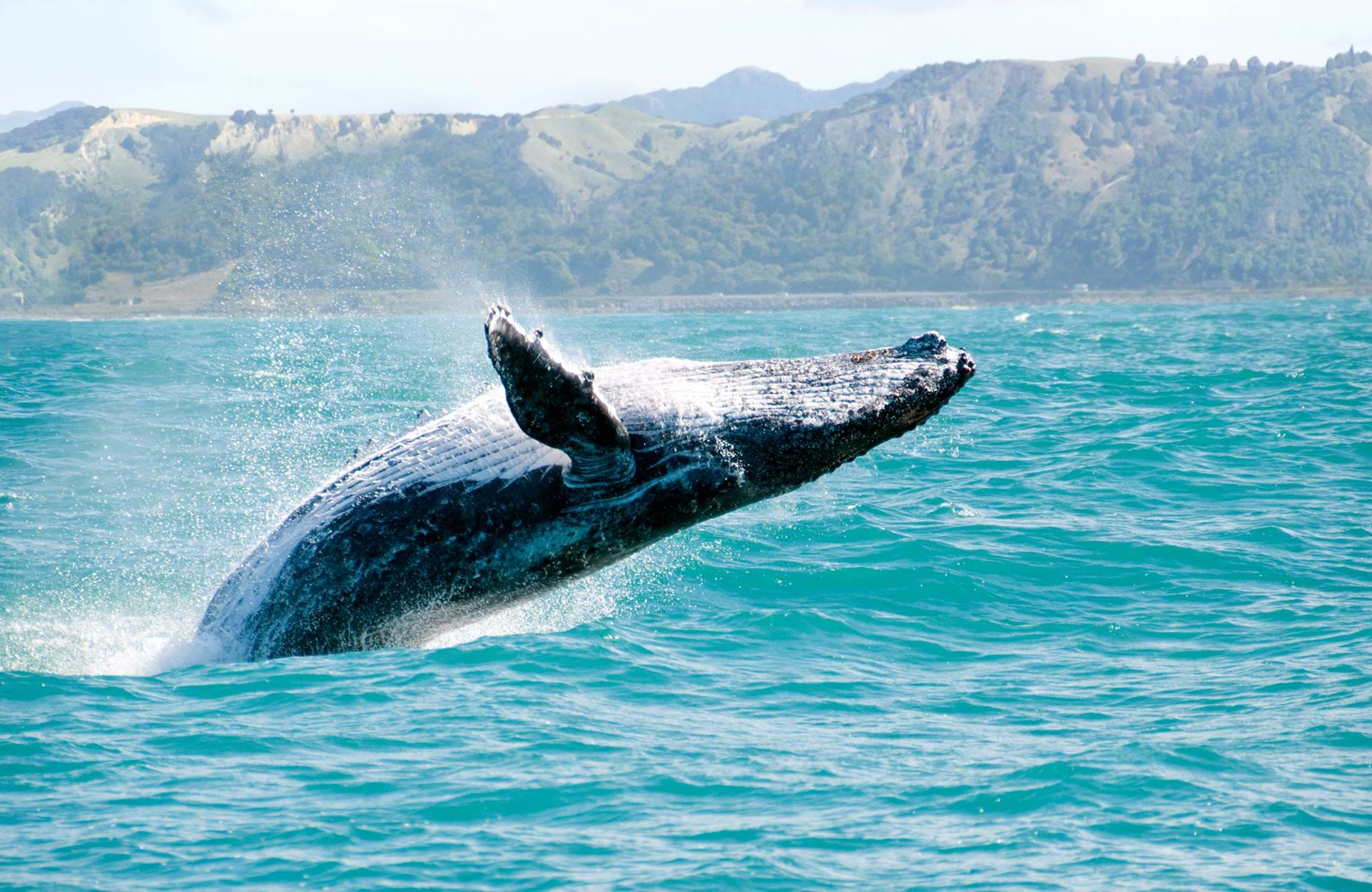 new-zealand-kaikoura-whale-diving