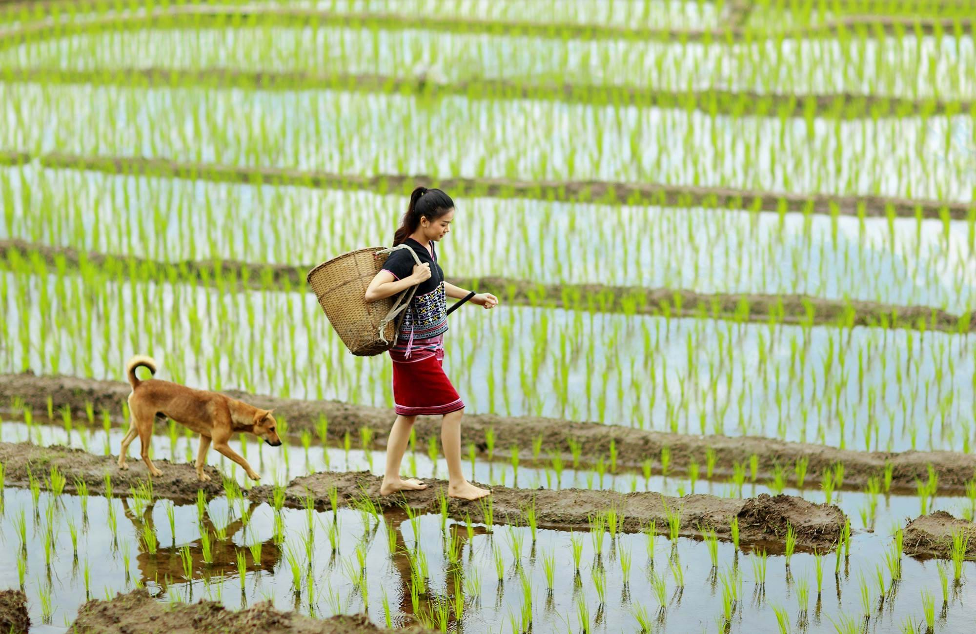 chiang-mai-thailand-rice-field-girl-and-dog